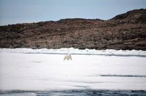 Eisbär läuft