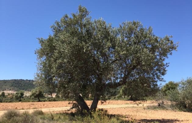 olivenbäume in deutschland